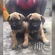 Bullmastiff Puppies | Dogs & Puppies for sale in Lagos State, Ipaja