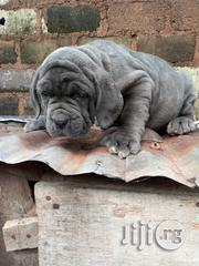 Neapolitan Mastiff Puppies for Sale | Dogs & Puppies for sale in Lagos State, Ikeja