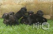 Cane Corso Puppies | Dogs & Puppies for sale in Abuja (FCT) State, Maitama