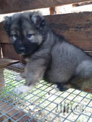 Giant Russian Caucasians Available for Sale | Dogs & Puppies for sale in Lagos State, Magodo