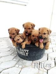 Big Bonned Boerboel Puppies ( Guard Dog/Security Dog) Available | Dogs & Puppies for sale in Lagos State, Maryland