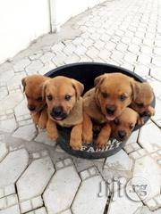 Big Bonned Boerboel Puppies | Dogs & Puppies for sale in Lagos State, Amuwo-Odofin