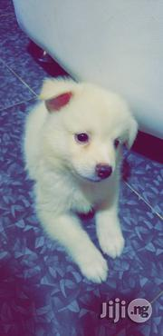 Fluffy Snow White Samoyed Puppies | Dogs & Puppies for sale in Lagos State, Magodo