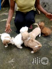 Lhasa Apso Pups | Dogs & Puppies for sale in Edo State, Ovia North East