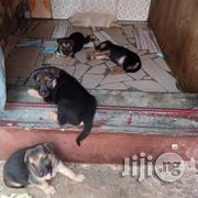Best German Shepherd Puppies M/F | Dogs & Puppies for sale in Lagos State, Lekki Phase 1