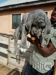 Guard Dog/ Neapolitan Mastiff Puppies Available | Dogs & Puppies for sale in Lagos State, Apapa