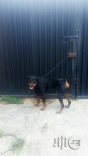 Solid Female Rottweiler for Sale   Dogs & Puppies for sale in Oyo State, Ibadan North West