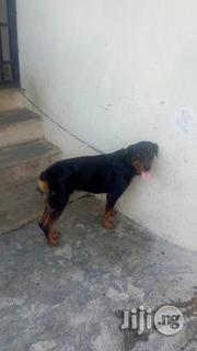 Semi Adult Male Rottweiler for Sale | Dogs & Puppies for sale in Oyo State, Ibadan North West