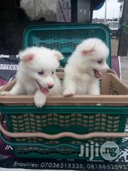 Pet Dog - American Eskimo Puppies | Dogs & Puppies for sale in Lagos State, Ikotun/Igando