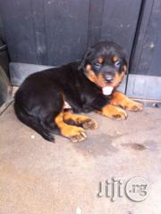 Boxhead Rottweiler Puppies - Giant Type | Dogs & Puppies for sale in Lagos State, Ikotun/Igando