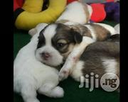 Lhasa Apso Puppies - Indoor Dog | Dogs & Puppies for sale in Lagos State, Ikotun/Igando