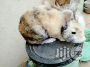 Rabbits For Sales | Livestock & Poultry for sale in Ogun State, Ewekoro
