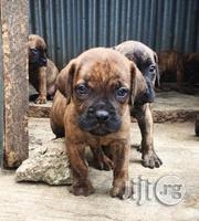 Boerboel Puppies | Dogs & Puppies for sale in Osun State, Osogbo