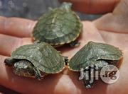Turtle For Sale For Fish Bowls/ Aquariums | Reptiles for sale in Lagos State, Mushin