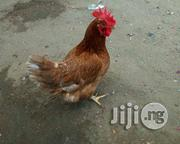 Life Chicken (Old Layer) For Sale | Livestock & Poultry for sale in Lagos State, Kosofe