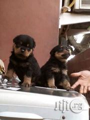 Purebred Boxhead Rottweiler Puppies Now Available For Sale | Dogs & Puppies for sale in Lagos State, Alimosho