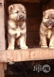 Caucasian Puppies - Both Sex | Dogs & Puppies for sale in Lagos State, Ipaja