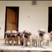 Purebred Boerboel Puppies Available For Sale | Dogs & Puppies for sale in Lagos State, Alimosho