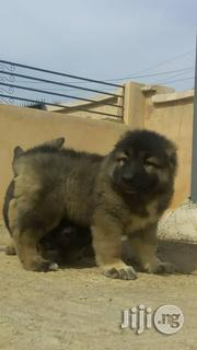 Massive Caucasian Pups Available For Sale | Dogs & Puppies for sale in Lagos State, Lekki Phase 1