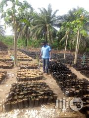 Hybrid Super Gene Palm Tree Seedling | Feeds, Supplements & Seeds for sale in Oyo State, Ibadan North