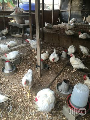 Chicken For Sell