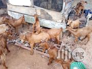 Goat For Sale   Livestock & Poultry for sale in Lagos State, Ikeja