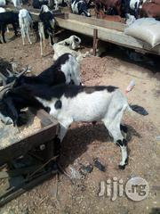 Local And Foreign Goat For Sale | Livestock & Poultry for sale in Lagos State, Ikorodu