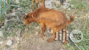 GOATS Affordable Prices. | Livestock & Poultry for sale in Ogun State, Sagamu