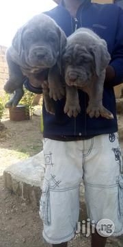 Neapolithan Mastiff Pups   Dogs & Puppies for sale in Lagos State, Ikeja