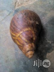 Giant African Land Snails Available   Other Animals for sale in Ogun State, Ayetoro