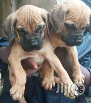 Boerboel Puppies Available For Sale | Dogs & Puppies for sale in Lagos State, Lagos Mainland