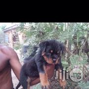 Rottweiler Puppies - Male and Female | Dogs & Puppies for sale in Lagos State, Ipaja
