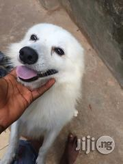Male Samoyed Available For Mating | Dogs & Puppies for sale in Ogun State, Ado-Odo/Ota