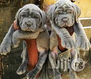 Purebred Neapolitan Mastiff Puppies Available For Sale | Dogs & Puppies for sale in Lagos State, Magodo