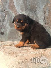 Boxhead Rottweiler Puppies Available For Sale | Dogs & Puppies for sale in Lagos State, Agboyi/Ketu