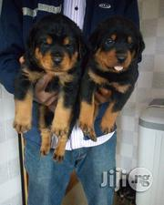 Boxhead Rottweiler Puppies Available For Sale | Dogs & Puppies for sale in Lagos State, Ipaja