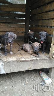 Massive Boerboel Puppies | Dogs & Puppies for sale in Rivers State, Port-Harcourt