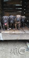 Massive Boerboel Puppies | Dogs & Puppies for sale in Port-Harcourt, Rivers State, Nigeria