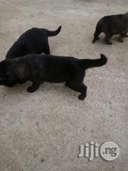 Caucasian Puppies | Dogs & Puppies for sale in Edo State, Ovia North East