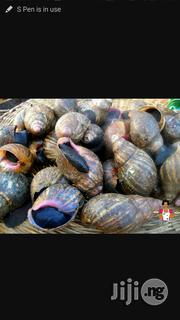 Jumbo Snail Available | Other Animals for sale in Oyo State, Ibadan North West