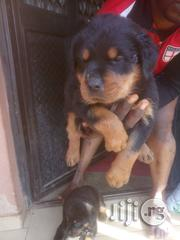 Boxhead Rottweiler Puppies -Big Bone | Dogs & Puppies for sale in Lagos State, Gbagada