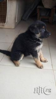 German Shepard Dogs For Sale | Dogs & Puppies for sale in Lagos State, Alimosho