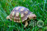 Pet Tortoise (Land And Turtle) | Other Animals for sale in Abuja (FCT) State, Kubwa