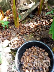 Point Of Lay Snails | Other Animals for sale in Ogun State, Ado-Odo/Ota