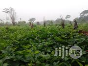 Buy Ugu (Ugwu) Fluted Pumpkin Leaves And Seeds | Feeds, Supplements & Seeds for sale in Ogun State, Ado-Odo/Ota