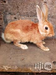Matured Male Rabbit For Sale | Livestock & Poultry for sale in Ondo State, Akure