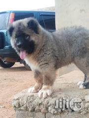 Male And Female Fluffy Big Bone Mountain Ovcharka Caucasian Shepherd | Dogs & Puppies for sale in Lagos State, Ikeja