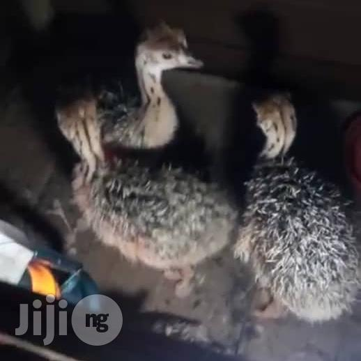 Archive: Ostrich Chick For Sale