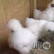 Adult White Silky Chicken For Sale   Livestock & Poultry for sale in Delta State, Ughelli North