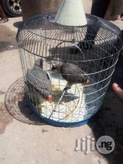 Young African Grey Parrot For Sale | Birds for sale in Lagos State, Lekki Phase 1